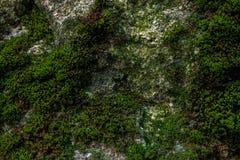Grön mossa och lavtextur och bakgrund Mossig Wood bakgrund Closeupsikt av grön mossa och laven Arkivfoto