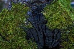 Grön mossa och lavtextur och bakgrund Mossig Wood bakgrund Closeupsikt av grön mossa och laven Arkivbild