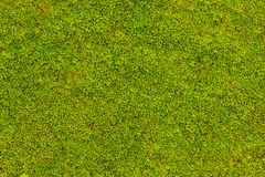Grön mossa på betongväggtextur, bakgrund royaltyfri foto