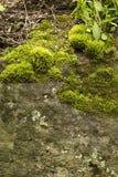 Grön mossa på det gammalt vaggar Arkivbilder