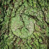 Grön mossa på ekskäll royaltyfri bild