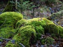 Grön mossa på en gammal stubbe i skogen fotografering för bildbyråer