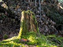 Grön mossa på en gammal stubbe i skogen royaltyfri foto