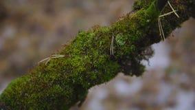 Grön mossa på en trädfilial i sen nedgång filmiskt skott, ultrarapid Närbild stock video