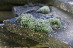 Grön mossa på ett antikt gammalt belagt med tegel tak Makro grund fokussikt av våt mossa sett växa på att belägga med tegel för t royaltyfria bilder