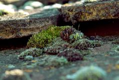 Grön mossa på ett antikt gammalt belagt med tegel tak Vår arkivbild