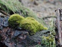 Grön mossa på ett trädskäll Royaltyfri Foto