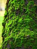 Grön mossa på stammen av björkträdet Arkivfoto