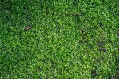 Grön mossa på stentexturbakgrunden Royaltyfria Bilder