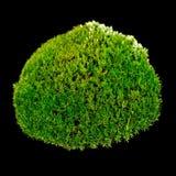 Grön mossa på svart bakgrund Arkivfoto