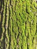 Grön mossa på träd Arkivbilder