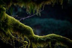 Grön mossa på träd i Stillahavs- nordvästligt royaltyfri fotografi