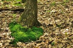 Grön mossa på trädstammen Arkivbild