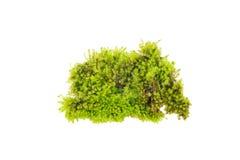 Grön mossa som är ljus - grön mossa Arkivfoton