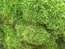 Grön mossa växer på trädet i skogen Royaltyfri Fotografi