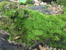 Grön mossa växer på trädet i skogen Royaltyfri Bild