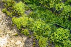 Grön mossacloseup på vagga Royaltyfria Bilder