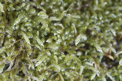 Grön mossamakro Arkivbilder
