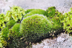 Grön mossastilleben på stenbakgrund som är härlig vaggar växtyttersida, grunt djup av fältet Selektivt fokusera Arkivfoto