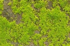 grön mosstextur Arkivbilder