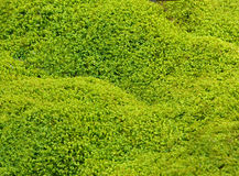 grön mosstextur för bakgrund Royaltyfria Bilder