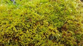 grön mosstextur för bakgrund Fotografering för Bildbyråer