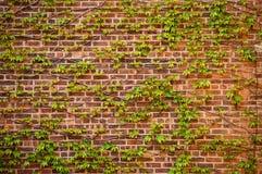 Grön murgröna över en tegelstenvägg Arkivbild