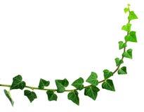 grön murgröna Royaltyfri Fotografi