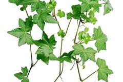 grön murgröna Royaltyfria Foton