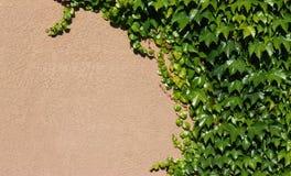 grön murgröna för bakgrund Arkivbilder