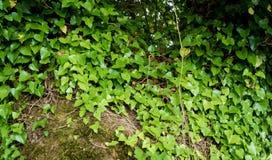 grön murgröna för bakgrund Blom- bakgrund för natur E Arkivbild