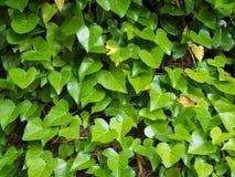 grön murgröna för bakgrund Blom- bakgrund för natur E Arkivfoton
