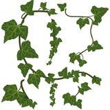 grön murgröna för element Royaltyfria Bilder