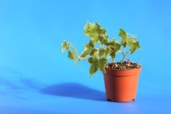 Grön murgröna i kruka Fotografering för Bildbyråer