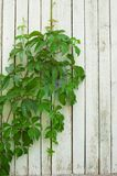 Grön murgröna och trävägg Fotografering för Bildbyråer