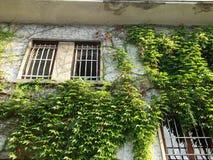 Grön murgröna på den gamla stenväggen Arkivbild