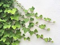 Grön murgröna på den vita väggen Arkivbild