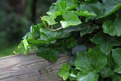 Grön murgröna på gammalt träd royaltyfri fotografi