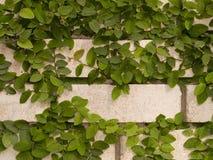 Grön murgröna på väggen arkivbilder