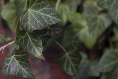 Grön murgröna som växer på en vägg för röd tegelsten Arkivfoto