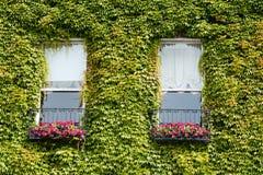Grön murgrönaranka på husväggen Arkivfoto
