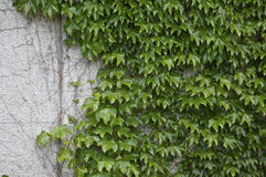 grön murgrönavägg arkivfoto