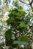 Grön murgrönaväxt i djungeln Royaltyfri Fotografi
