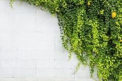 Grön murgrönaväxt på väggen för vitt cement Utomhus- trädgårds- garnering royaltyfri fotografi