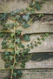 Grön murgrönaväxt som kryper över ett trädgårds- staket Royaltyfria Foton