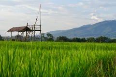 Grön natur av risfält fotografering för bildbyråer