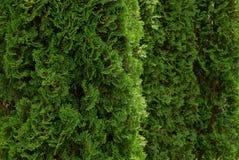 Grön naturlig bakgrund av barrträds- filialer av dekorativt trä Royaltyfri Foto