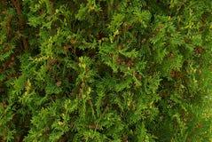 Grön naturlig bakgrund av små barrträdfilialer och kottar Arkivfoton