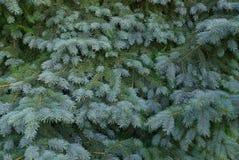 Grön naturlig bakgrund från barrträdfilialer Arkivbild