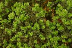 Grön naturlig bakgrund från barrträdfilialer Arkivbilder